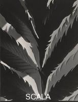 Cunningham, Imogen (1883-1976) Leaf Pattern, before 1929