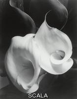 Cunningham, Imogen (1883-1976) Two Callas, 1929