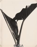 Cunningham, Imogen (1883-1976) Calla Lily Leaves, c. 1929. Gelatin silver print. 9 9/16 x 7 9/16 in. (24.3 x 19.2 cm). Ackland Fund. N. Inv. : 85.18.1
