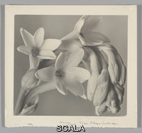 Cunningham, Imogen (1883-1976) Tuberose, 1920s. Gelatin silver print. 21.2 x 23.8 cm. (8 3/6 x 9 3/8 in.). Purchase, Dorothy Levitt Beskind Gift, 1973. (1973.540.1)