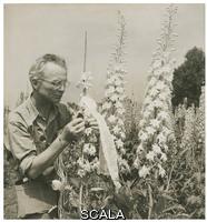 Steichen, Dana (Desboro Glover, Dana 1894-1957) Edward Steichen with delphiniums, c. 1938