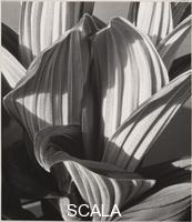 Cunningham, Imogen (1883-1976) Glacial Lily, 1927